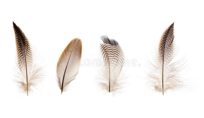 Set piękni krusi mali ptasi piórka odizolowywający obrazy stock