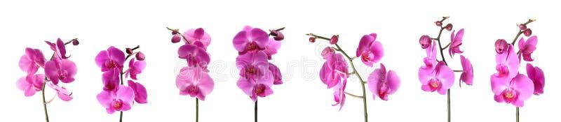 Set piękni purpurowi storczykowi phalaenopsis kwiaty zdjęcia royalty free