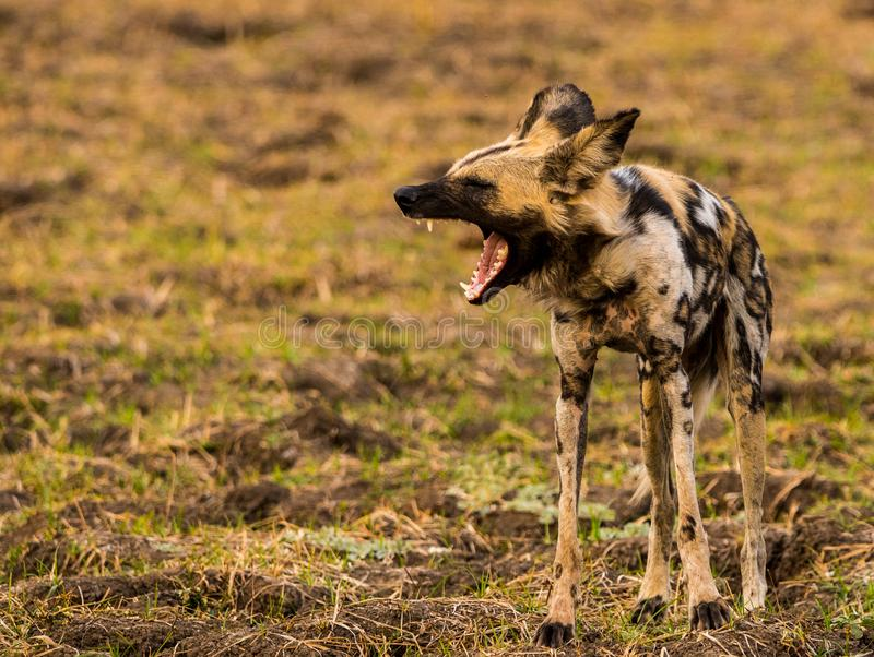 African Safari with wild dogs, lions, leopards, buffalo stock photos