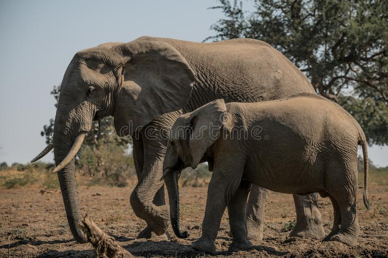 African Safari with wild dogs, lions, leopards, buffalo royalty free stock photos