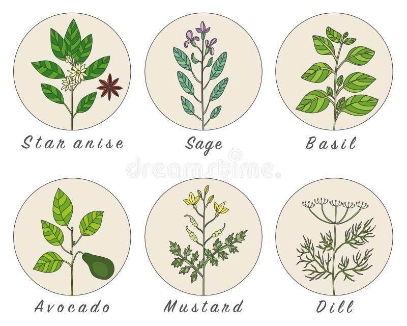 Set pikantność, ziele i officinale, zasadza ikony royalty ilustracja