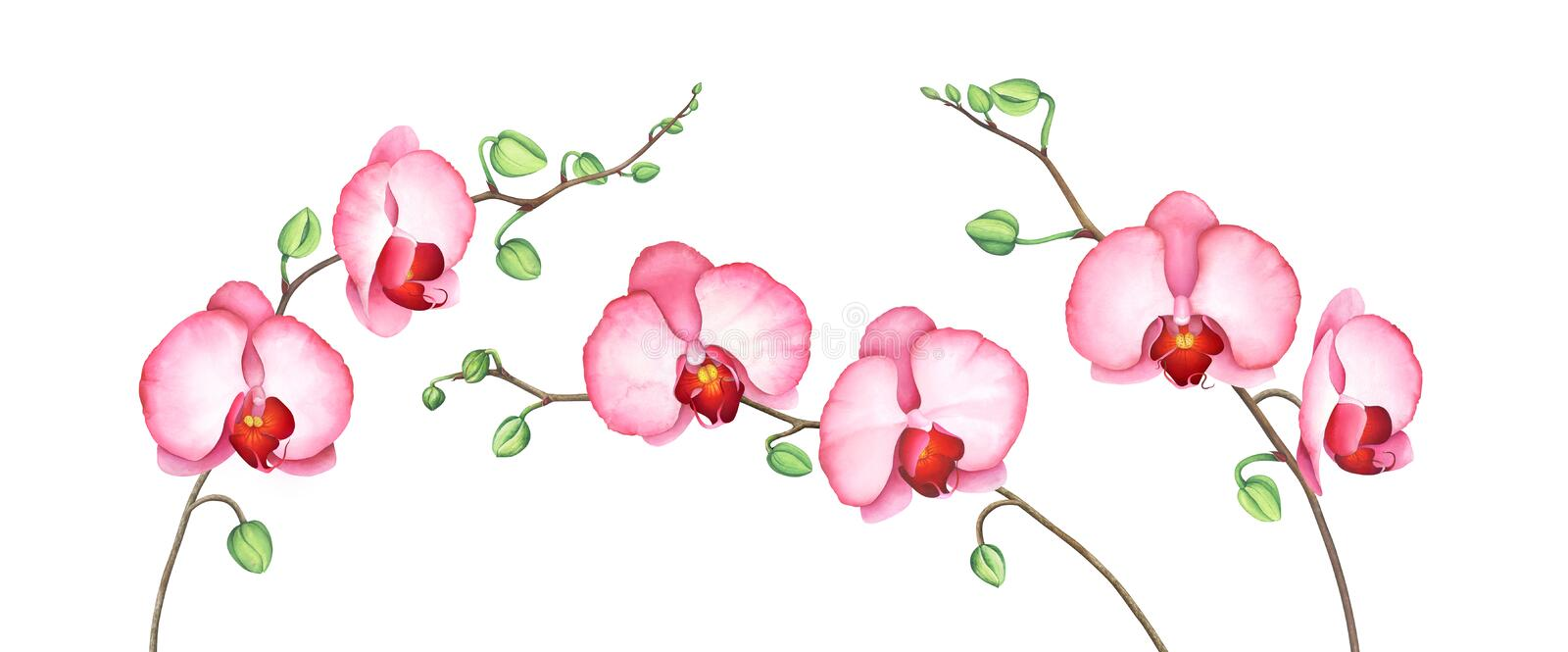 Set of pink orchid branches isolated on white background. Watercolor illustration. stock illustration