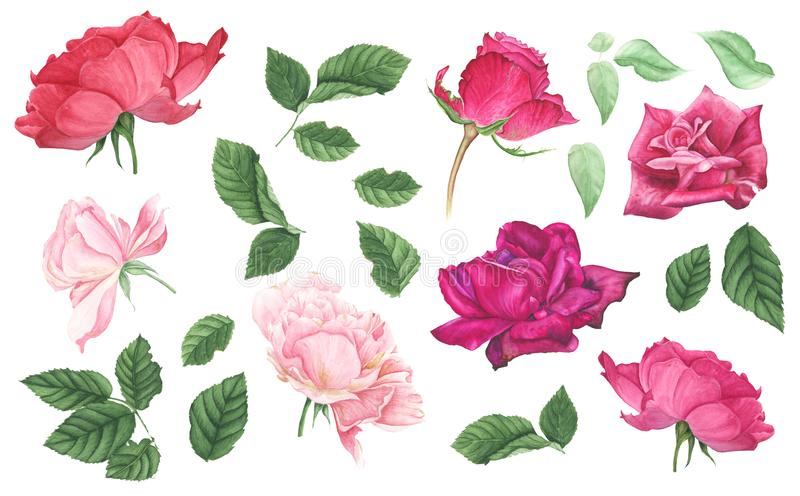 Set of pink and red roses and leaves, watercolor painting. Set of pink and red roses and green leaves, watercolor painting. Botanical illustration stock illustration