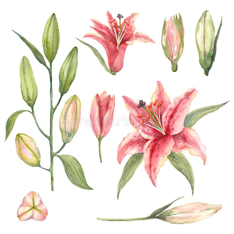 Set of Pink Stargazer Lilies and lily buds on a white background. Watercolor illustration vector illustration