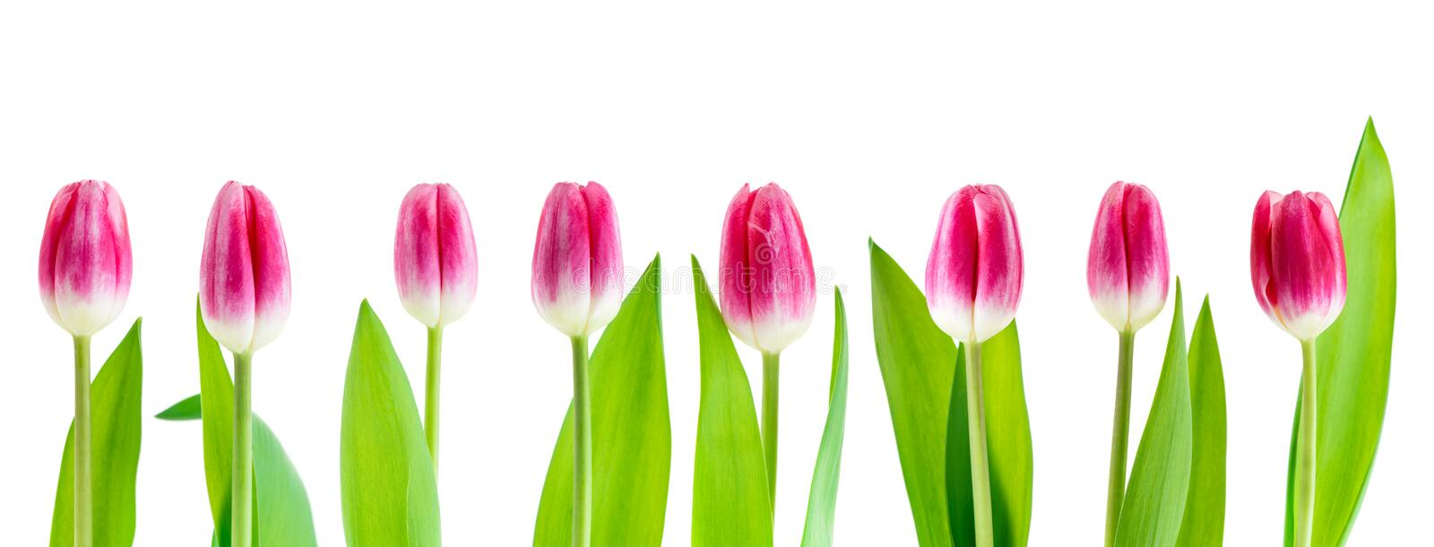 Set pink tulip isolated. On white background royalty free stock images