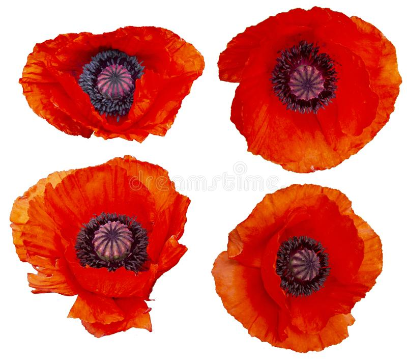 Set of poppy flowers is royalty free stock photos