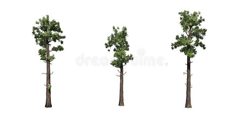 Set próbki Conifer drzewa ilustracja wektor