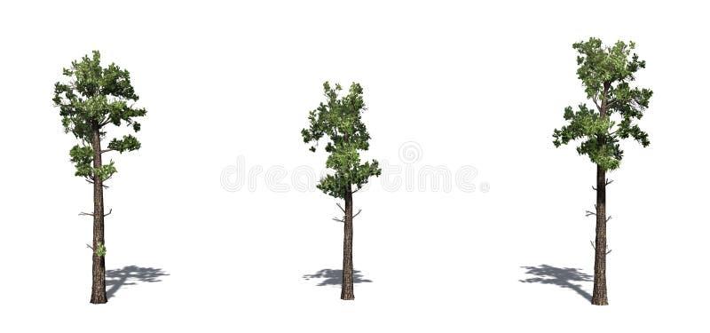 Set próbki Conifer drzewa z cieniem na podłodze royalty ilustracja