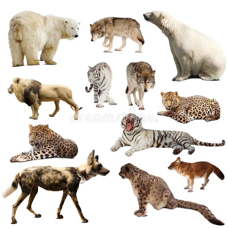 Set of predatory mammals over white royalty free stock photo