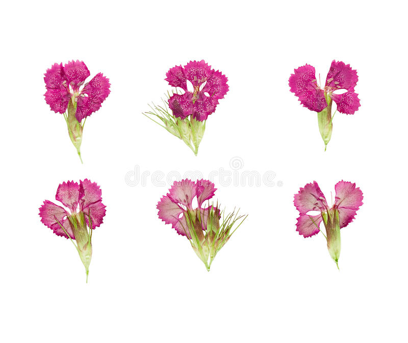 Set of pressed and dried magenta flowers sweet-william (dianthus barbatus). Isolated on a white background royalty free stock photo