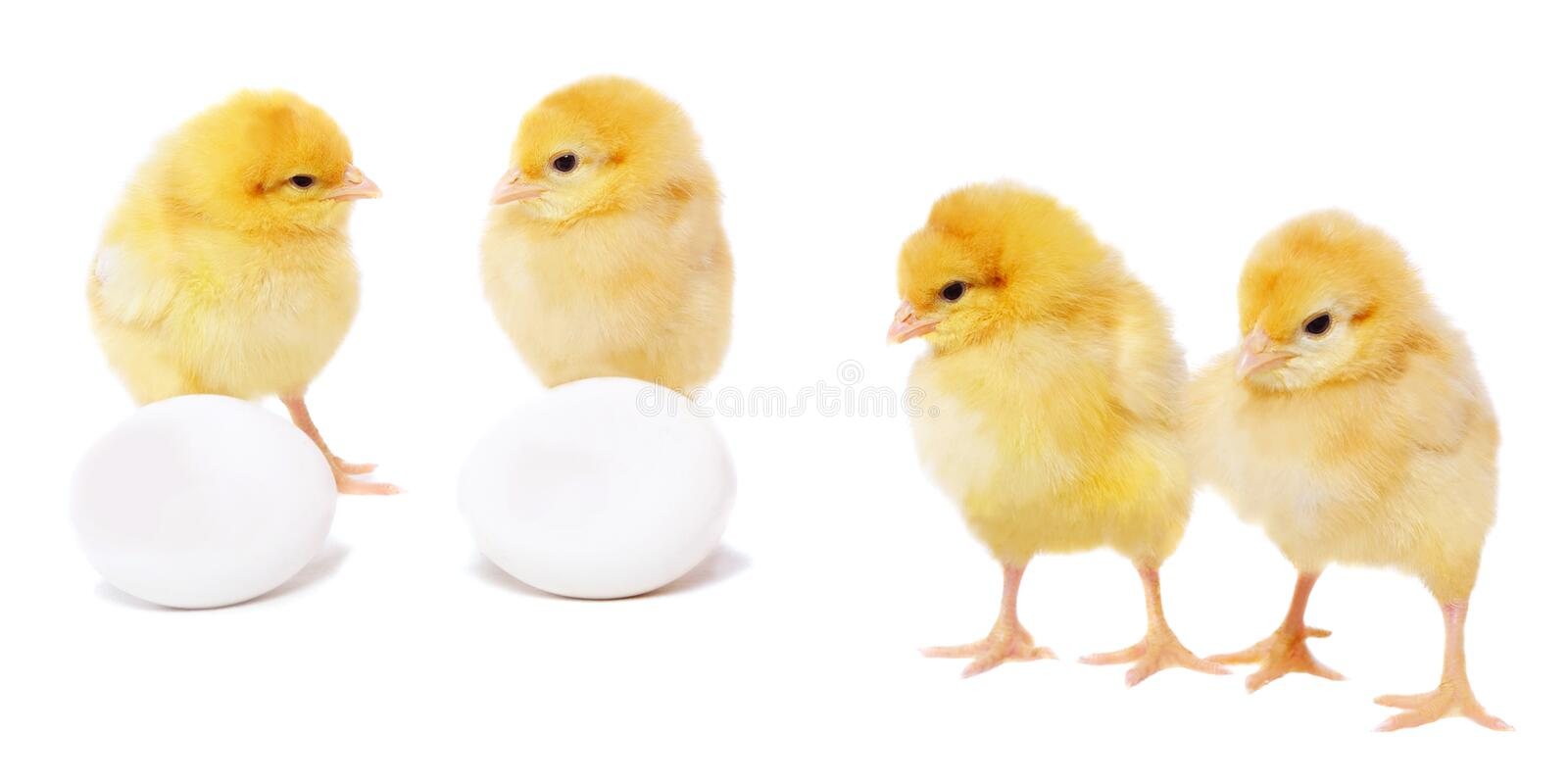 Set of pretty chickens stock images
