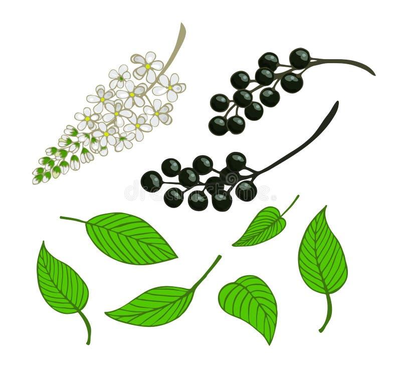 set ptasia wiśnia Odosobnione jagody, kwiaty i liście Mayday drzewo, royalty ilustracja