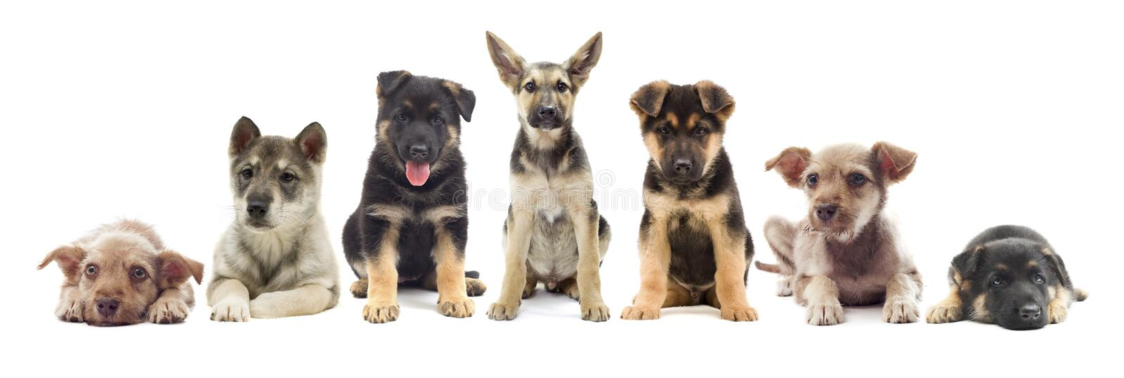 Set of puppies. On a white background royalty free stock image