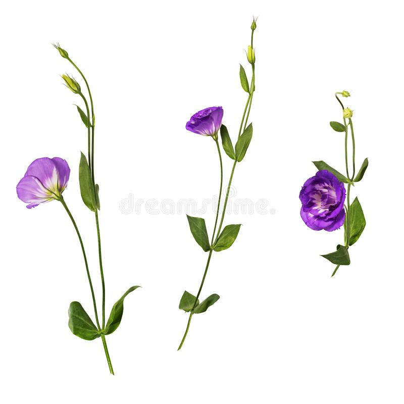 Set of purple eustoma flowers prairie gentian isolated on white background. One twig shot at different angles. Side, front, rear view royalty free stock images