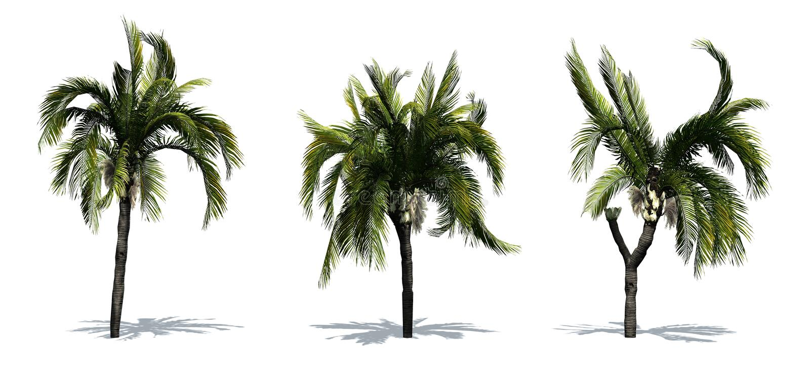 Set of Queen Palm trees with shadow on the floor. Isolated on white background stock illustration