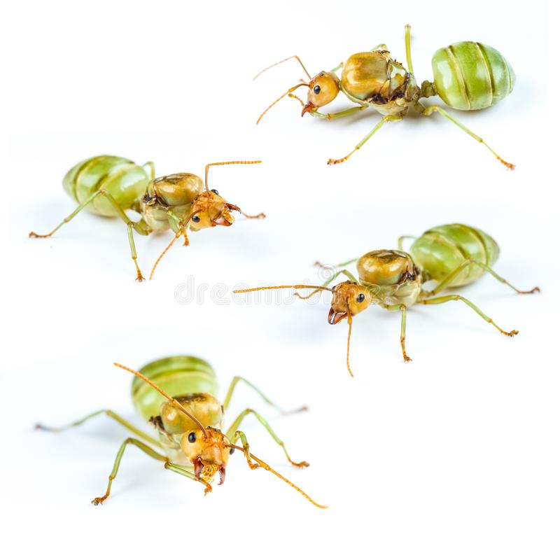 Set of Queen Red Ant Isolated royalty free stock images