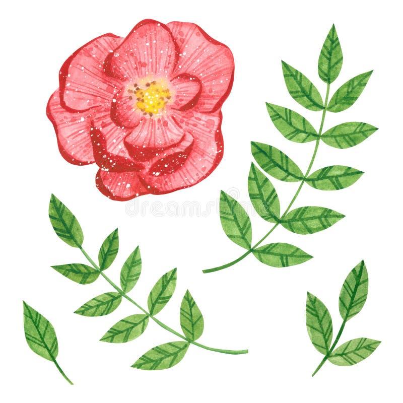 Set różany ranunculus i gałąź z zielonymi liśćmi, ziele royalty ilustracja