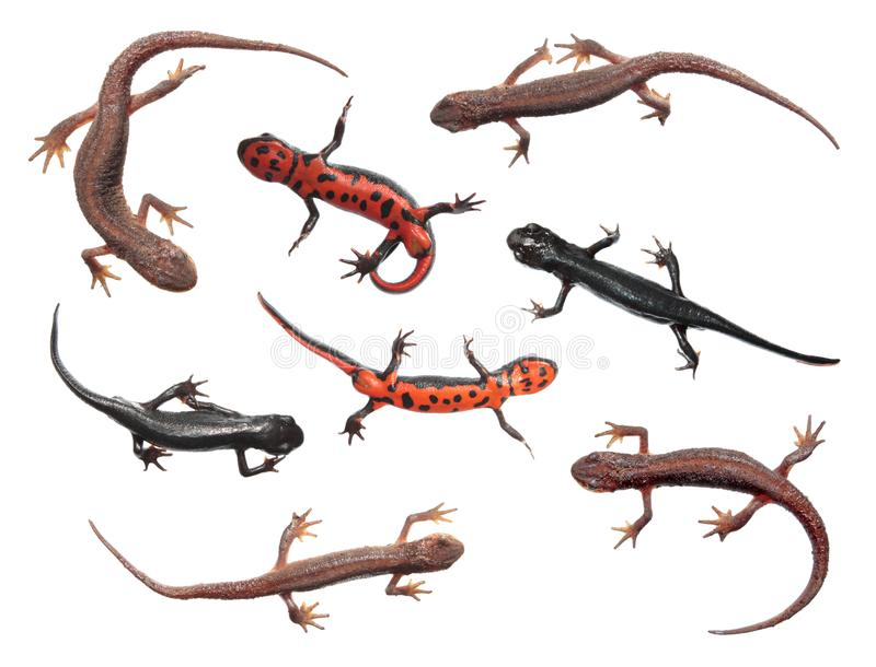 Set różni gatunki newts odizolowywający na białym tle Pospolita traszka i japończyka brzuch pożarnicza traszka zdjęcia stock