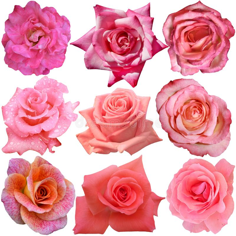 Set 9 różnych róż obrazy royalty free