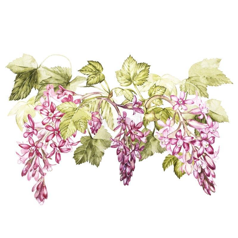 Set ręka rysująca akwareli botaniczna ilustracja kwiaty czarny rodzynek Element dla projekta zaproszenia ilustracja wektor