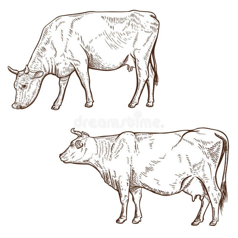 Set ręka rysująca krowy ilustracja odizolowywająca na białym tle Projektuje element dla plakata, emblemat, logo, znak royalty ilustracja