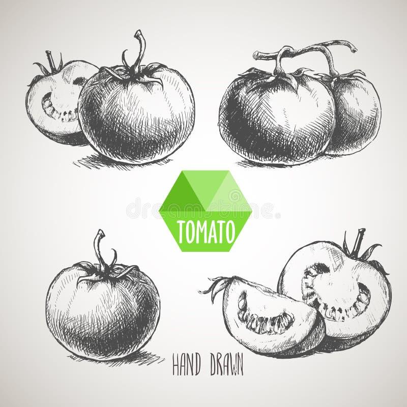 Set ręka rysujący nakreślenie stylu pomidor Organicznie eco jedzenie ilustracja wektor