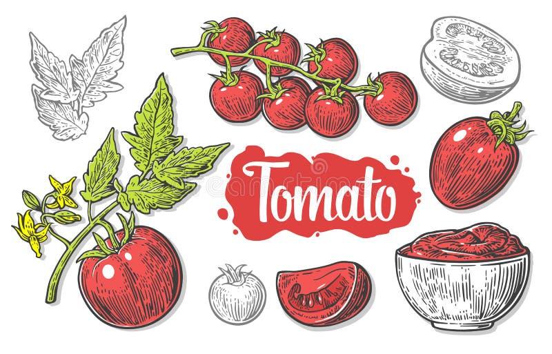 Set ręka rysujący pomidory odizolowywający na białym tle Pomidor, połówka i plasterek odizolowywający, grawerowaliśmy ilustrację royalty ilustracja