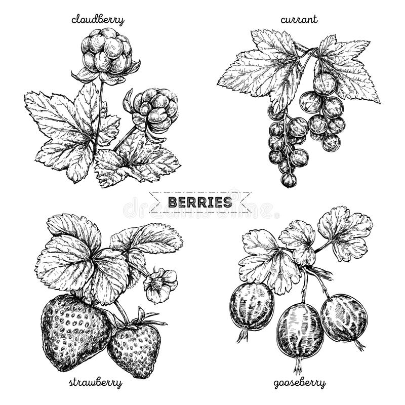 Set ręki rysować jagody odizolowywać na białym tle Truskawka, moroszka, agrest, rodzynek, na białym tle ilustracji