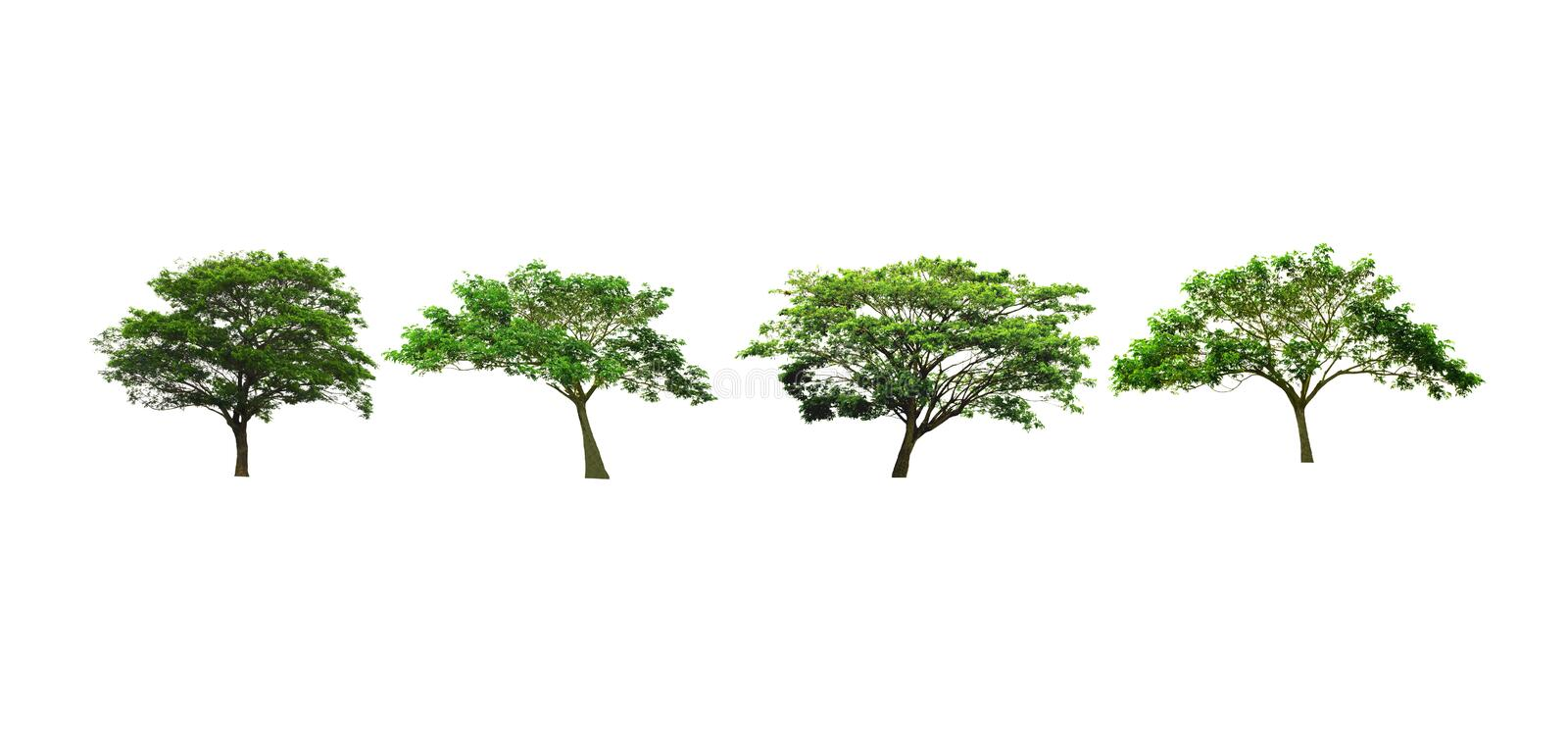 Silk tree or East Indian walnut tree or rain tree isolated on white background. Set of Rain Tree or East Indian walnut tree or silk tree isolated on white stock photography