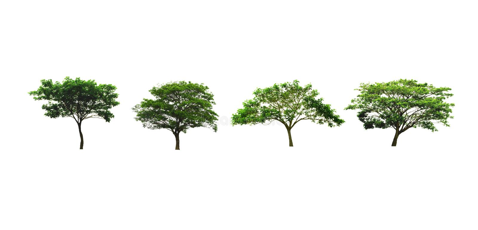 Set of rain Tree or silk tree or East Indian walnut tree isolated on white background looks fresh and beautiful. Rain Tree or silk tree or East Indian walnut royalty free stock images