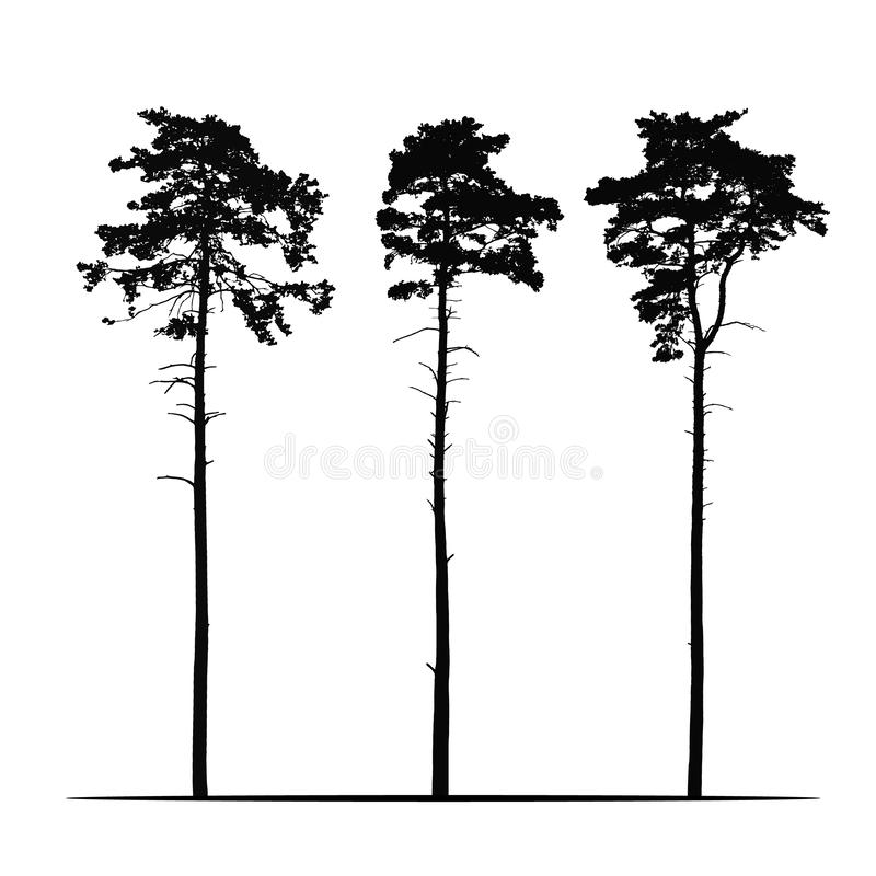 Set Realistic illustration of tall coniferous pine trees. Isolated on white background, vector stock illustration