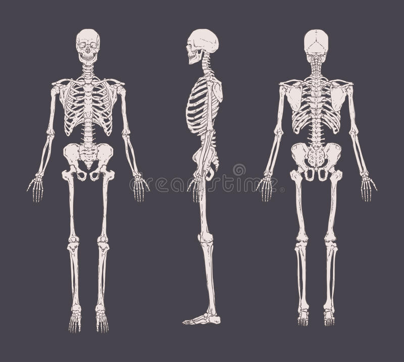 Set of realistic skeletons isolated on gray background. Anterior, lateral and posterior view. Concept of anatomy of. Human skeletal system. Vector illustration royalty free illustration