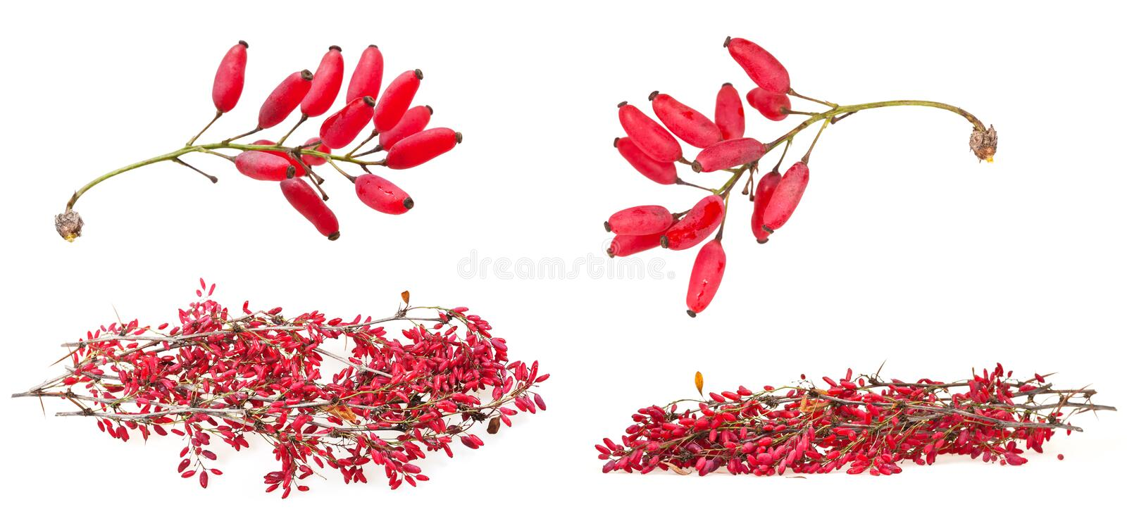 Set of red berberis shoot with ripe fruits. On white background royalty free stock photos
