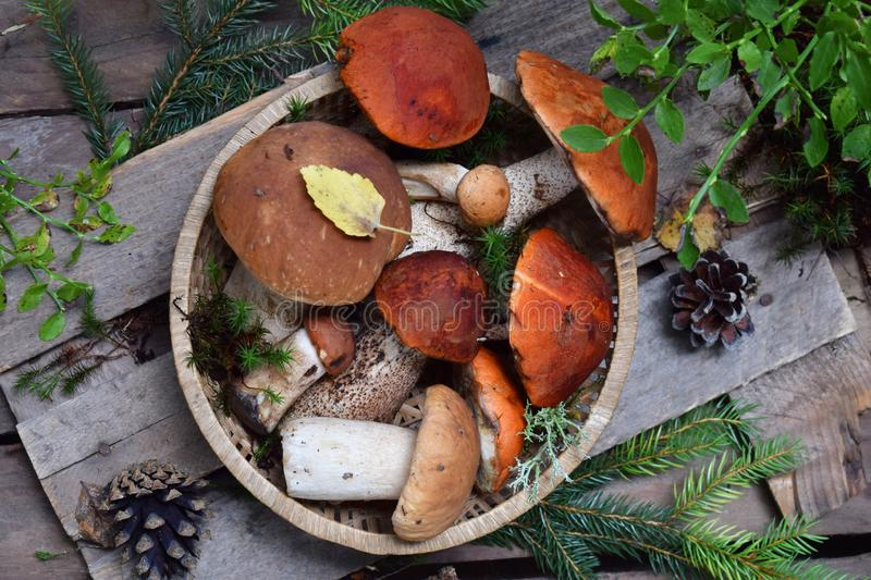 Set of red cap boletus in bowl on wooden background. Brown wild mushrooms. Edible fungus Leccinum Aurantiacum collected in forest. Set of red cap boletus in bowl royalty free stock photography