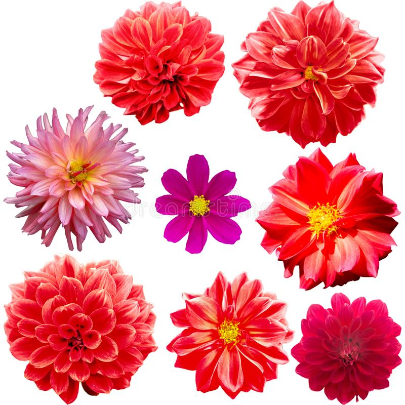 Set of red flowers isolated on white stock image