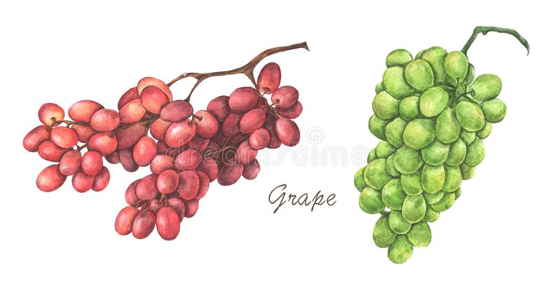 Set of red and green grapes. Watercolor illustration. Set of red and green grapes isolated on white background. Watercolor illustration stock illustration