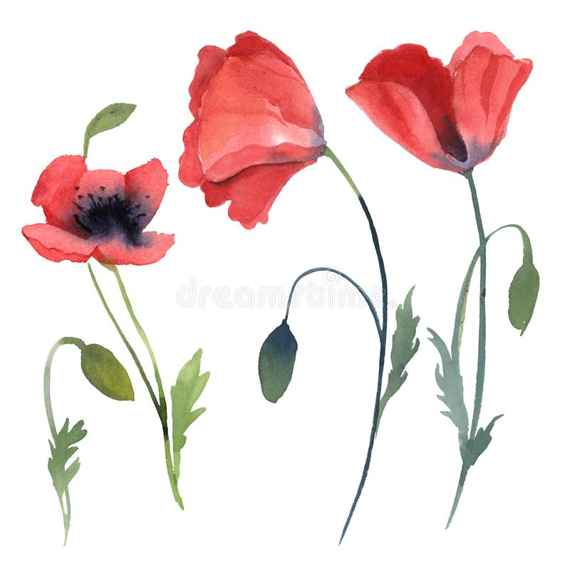 Set of red poppy flowers, leaves isolated on white background vector illustration