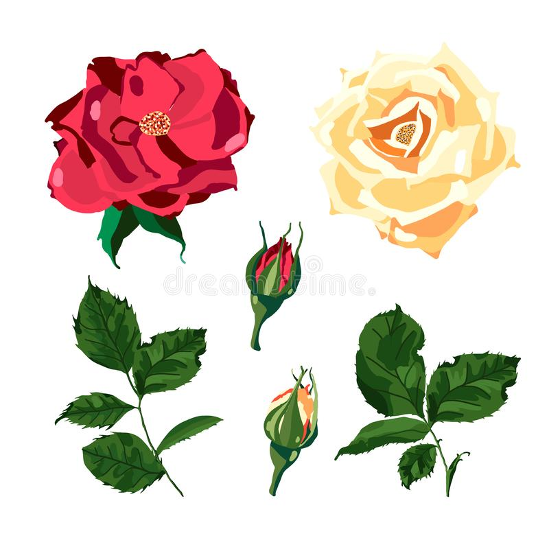 Set of red yellow rose flower and green leaves plant herb spring isolated vector illustration