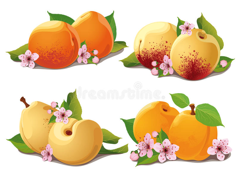 Set of ripe apricots. With leaves and flowers vector illustration