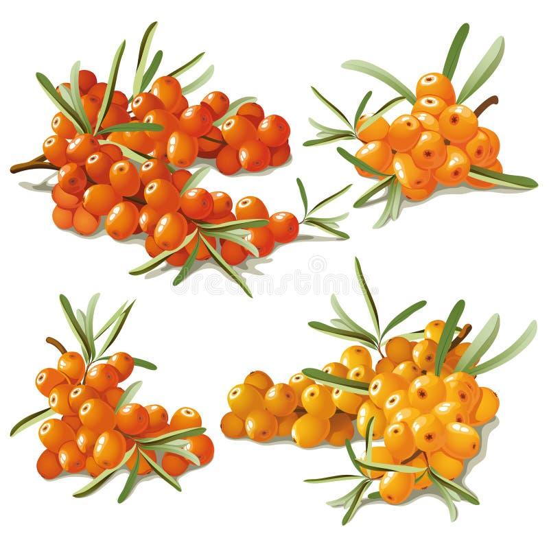 Set of ripe sandthorn royalty free illustration