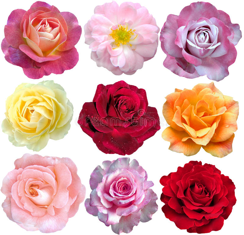 Set of 9 roses royalty free stock photos
