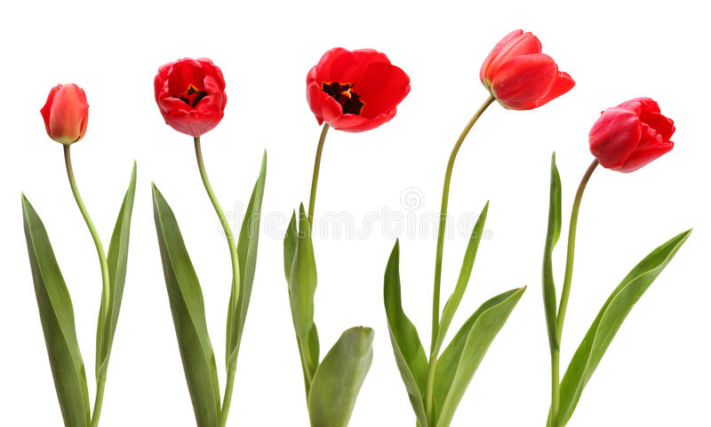 Set rote Tulpen getrennt stockfotos