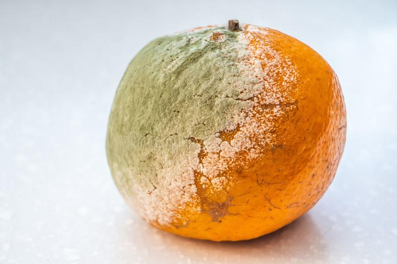 A set of rotten moldy oranges, tangerines  on white background. A photo of the growing mold. Food contamination stock photo
