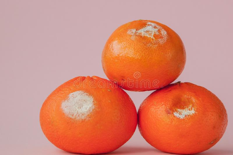 A set of rotten moldy oranges, tangerines on pink background. A photo of the growing mold. Food contamination, bad spoiled stock photography