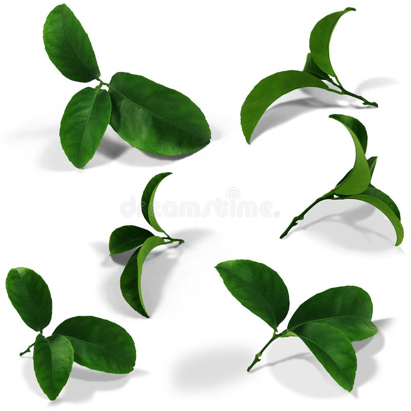 SET-6 rzeczy Tangerine zieleni liście odizolowywający z oryginalnym cieniem nad białym i przejrzystym tła PNG bezszwowy wzór! obraz stock