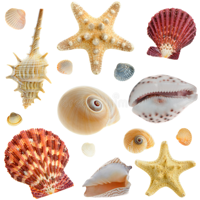 Set of sea cockleshells. It is isolated on a white background royalty free stock image
