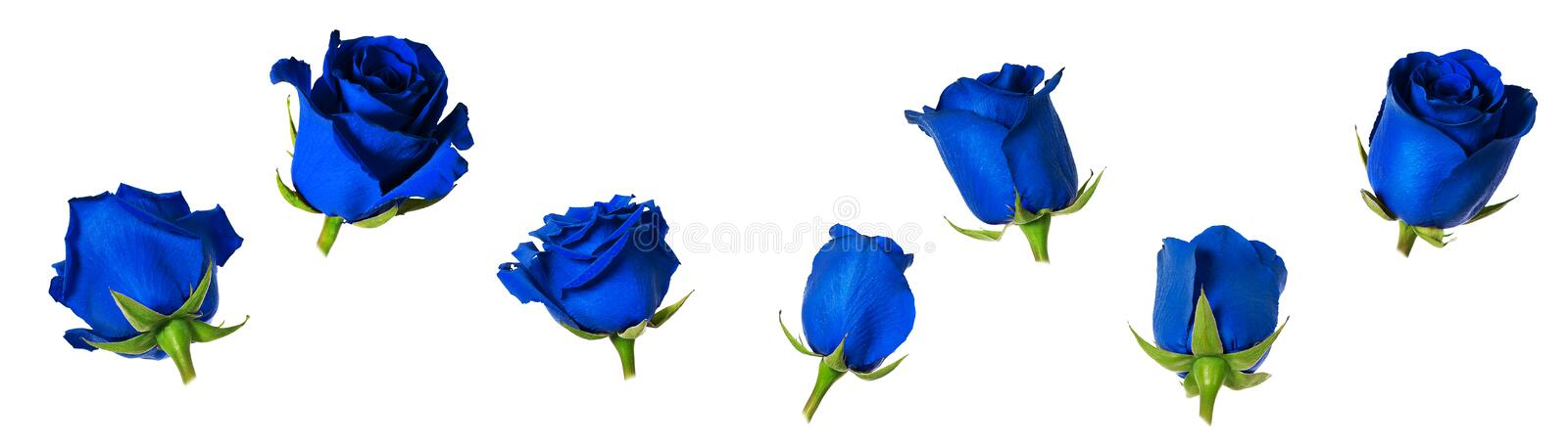 Set of seven beautiful blue rose flowerheads with sepals isolated on white background. Flowers are shot at different angles, includung side and back view royalty free illustration