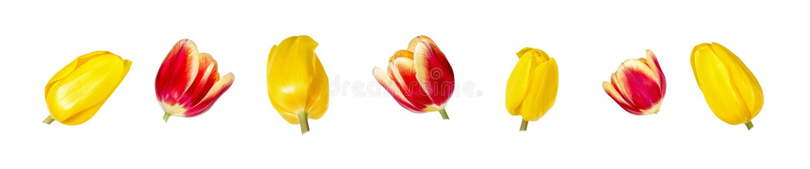 Set of seven beautiful red and yellow tulip flower heads isolated on white background. stock photos