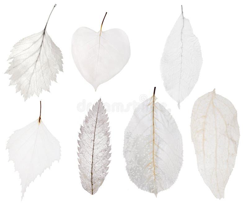 Set siedem liścia lekki kościec odizolowywający na bielu fotografia stock