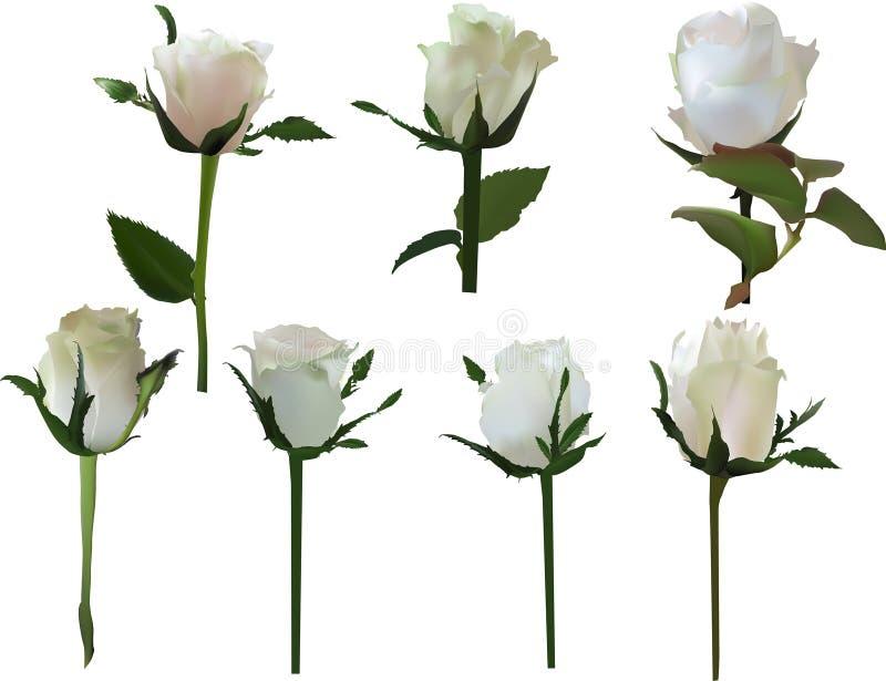 Set siedem odizolowywał biel róży kwiaty ilustracji